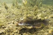 Brown Bullhead Catfish (Ameiurus Nebulosus) Underwater Photography. Freshwater Fish In Clean Water And Nature Habitat. Natural Light. Lake And River Habitat. Wild Animal.