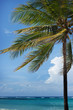 Tropical palm on the coast on blue sky with white cloud and blue-green ocean background