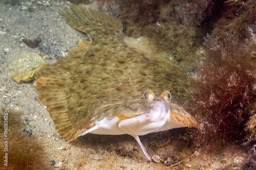Obraz na płótnie Winter Flounder