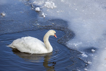 The Hollow Swan Resides In The...