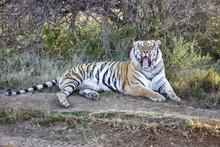 Male Tiger Yawning In Tiger Ca...