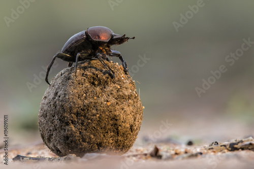 Slika na platnu Dung beetle on his dung ball to impress the ladies in Sabi Sands GR, part of the