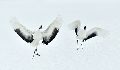 Dancing Cranes. The red-crowned crane (Scientific name: Grus japonensis), also called the Japanese crane or Manchurian crane, is a large East Asian crane.