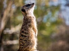 Curious Meerkat Guard Watching...