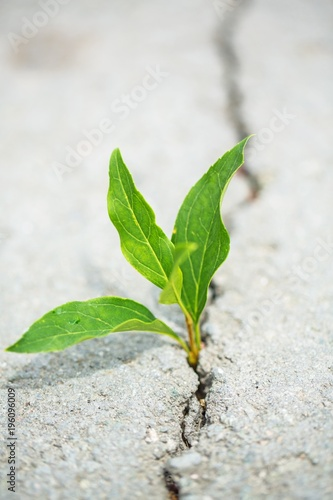 plant taking root on a concrete footpath Canvas Print