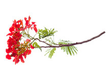 Royal Poinciana Flower , Red Flower Isolated On White Background