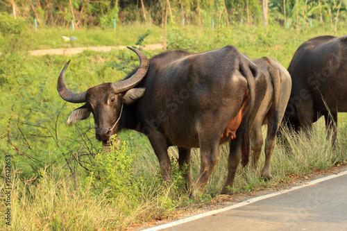 Staande foto Buffel Buffalo walking on the road in countryside of Thailand