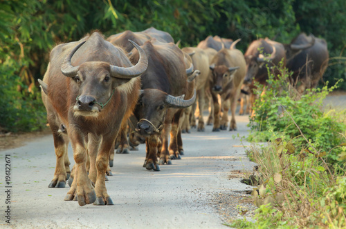 Foto op Aluminium Buffel Buffalo walking on the road in countryside of Thailand
