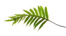 Wart Fern Leaf, Ornamental Fol...