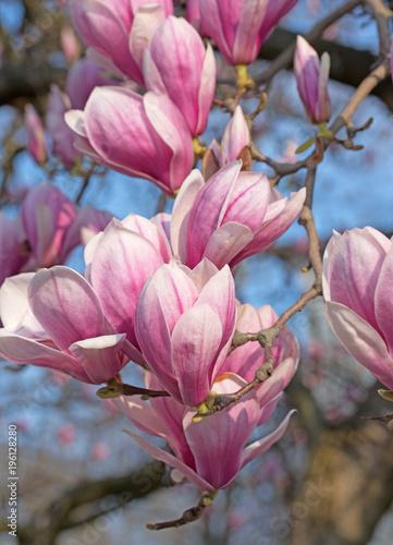Poster Magnolia Blühende Magnolien, Magnolia,