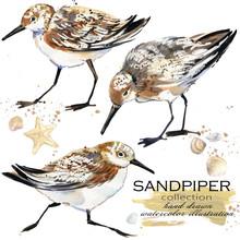 Sandpiper Bird Hand Drawn Watercolor Illustration Set