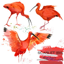Scarlet Ibis Hand Draw Waterco...