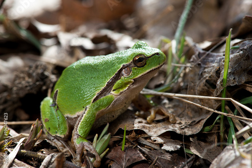 Photo Tree frog (Hyla arborea) syn