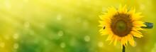 Sonnenblume Mit Biene Im Anflug