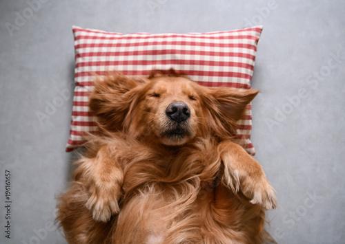 Golden retriever lying down to sleep