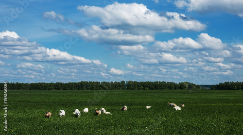 Fotografering  Herd of goats on a pasture