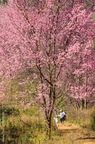 In de dag Candy roze The beautiful Wild Himalayan Cherry in natural meadow on highland in Thailand.