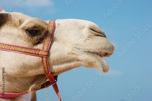 Spoed Fotobehang Kameel Head of a camel on a background of blue sky