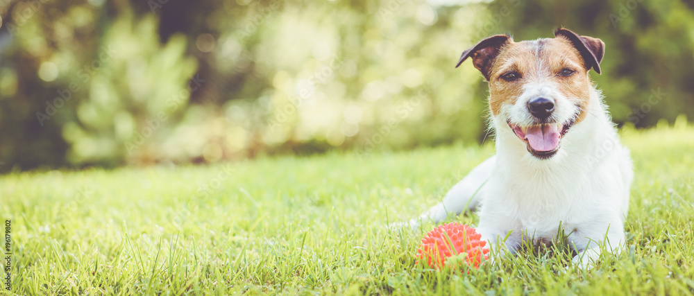 Fototapety, obrazy: Pet dog lying on grass at sunny summer day (panoramic crop)