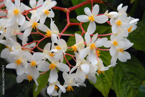 Begonia Blanc A Tiges Roses Fleur De Martinique Departement D