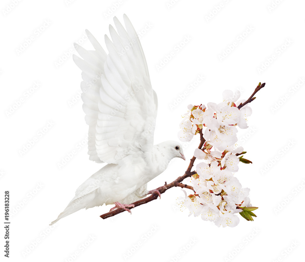 white flying dove with cherry tree branch in blooms