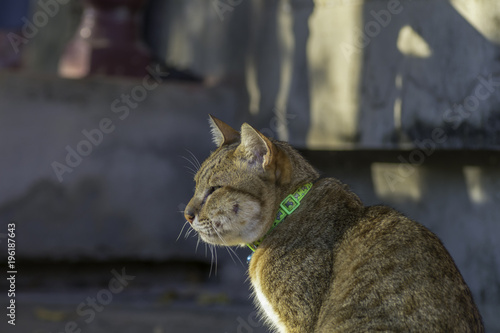 Photo Cat with abscess from bite wound on face