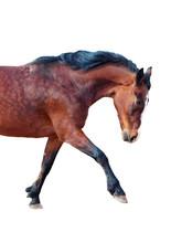 Bay Horse Stepping Forward. Si...