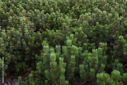 Poster Vegetal Mountain pine trees forest