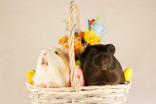 Guinea Pigs Happy Easter