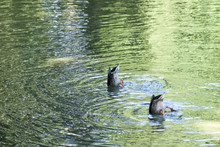 Two Ducks Upside Down In Water
