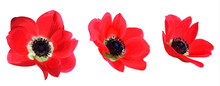 Set Of Red Anemones