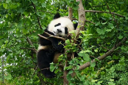 Aluminium Prints Panda young panda in a tree