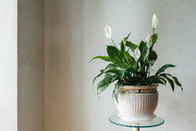 Spathiphyllum Flower In The Wh...