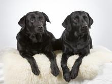 Two Labradors In A Studio. Tea...