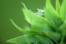 A Small Green Tree Frog Peeks ...