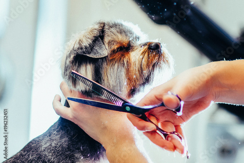 Female groomer haircut yorkshire terrier on the table for grooming in the beauty salon for dogs. Toned picture.