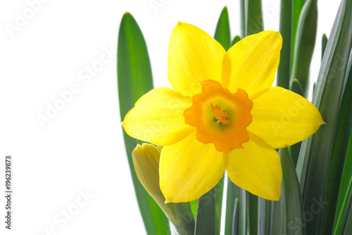 Deurstickers Narcis Close-up view of yellow daffodil with leaves isolated on white background. Spring flower blooming
