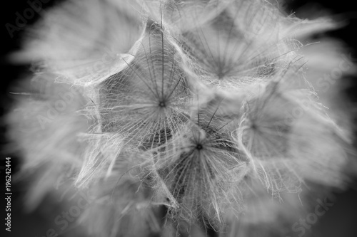 kwiat-mniszka-lekarskiego