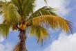 Ripe orange coconuts grow on a palm tree;