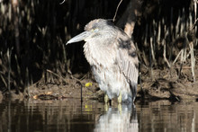 Juvenile Night Heron Sleeping In The Shadows Of The Mangrove Trees