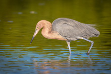 Reddish Egret In Search Of A Meal In The Shallow Waters Of The Lagoon