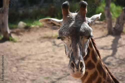Photo  Wildlife photography of a nubian giraffe closing its eyes