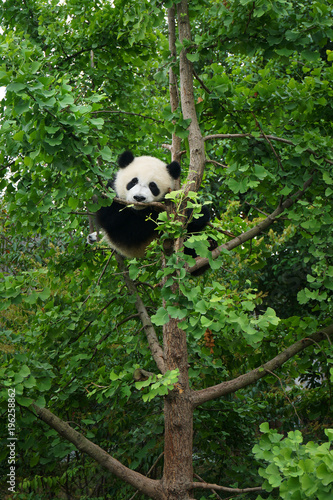 Stickers pour porte Panda young panda in a tree