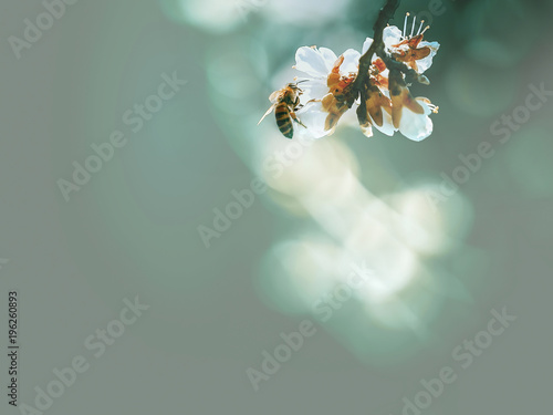 Spring flowering, pollination by bees Wallpaper Mural