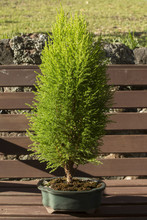 Lemon Scented Conifer