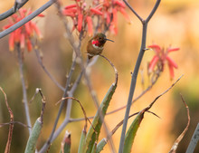 Allen's Hummingbird Perched On Succulent