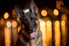 German Shepherd Night Bokeh Po...