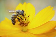 Image Of Bee Or Honeybee On Ye...