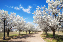 White Bradford Pear Trees Bloo...