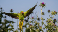 Isolated Green Parrot In The W...
